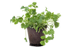 Cilantro in pot isolated Stock Images