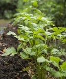 Cilantro roślina w ogródzie także dzwonił Kolender P i chińczyka Zdjęcie Royalty Free