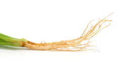 Cilantro Roots Royalty Free Stock Photography