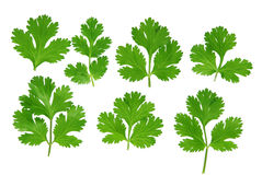 Cilantro Set Stock Photography