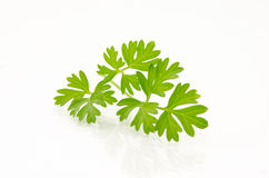 Cilantro Sprig Stock Photography