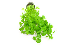 Cilantro thai herb isolated on white background Royalty Free Stock Image