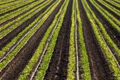 Cilantro uprawy Rolni rzędy Obrazy Stock