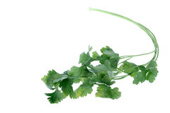 Cilantro verde en blanco Imagen de archivo