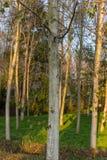 Cilavegna trän Arkivbild