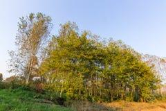 Cilavegna trän Arkivfoto