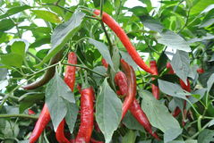 Cili besar or capsicum annum. Is easy found grow naturally in Malaysia stock images