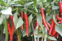 Cili besar or capsicum annum. Is easy found grow naturally in Malaysia stock photo