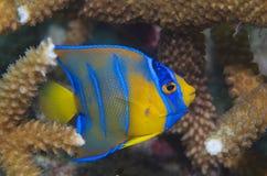 Ciliaris giovanili del angelfish-Holocanthus della regina Immagine Stock