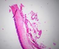 Ciliatde nabłonka sekcja pod mikroskopem Obraz Stock