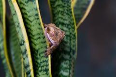 Ciliatu crêté de Correlophus de gecko photo stock