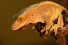 Ciliatus ou gecko Crestate de Correlophus image libre de droits