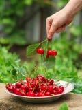 Ciliege, bacche della frutta, frutti maturi e succosi del raccolto Spazio superiore della copia Priorità bassa dell'alimento fotografia stock