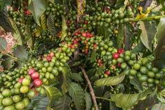 Ciliege del caffè Immagine Stock Libera da Diritti