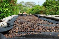 Ciliege del caffè Fotografia Stock Libera da Diritti