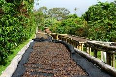 Ciliege del caffè Fotografia Stock