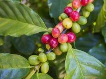 Ciliege del caffè Fotografie Stock