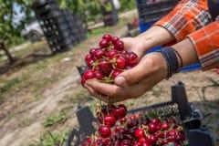 Ciliege del primo piano in cassa alle mani femminili Facendo il giardinaggio, agricoltura, concetto del raccolto Mani che tengono Fotografia Stock Libera da Diritti