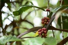 Ciliege della pianta del caffè Fotografie Stock