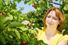 Ciliege di raccolto Immagini Stock Libere da Diritti