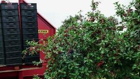 Ciliege di raccolto su una piantagione archivi video