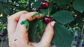 Ciliege e la pittura verde Fotografie Stock Libere da Diritti