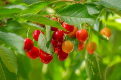Ciliege mature e non mature che pendono da un ramo con le foglie backlit verdi immagine stock