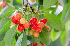 Ciliege mature e non mature che pendono da un ramo con le foglie verdi Fotografia Stock