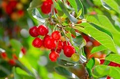 Ciliege mature e non mature che pendono da un ramo con le foglie verdi fotografie stock