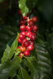 Ciliege rosse del caffè Immagine Stock Libera da Diritti
