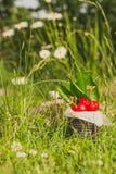 Ciliege rosse in latta d'annata in alta erba e con i fiori della pratolina Fotografia Stock