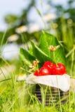 Ciliege rosse in latta d'annata in alta erba e con i fiori della pratolina nel fondo Immagini Stock