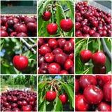 Ciliege rosse mature nel frutteto; collage della frutta Fotografie Stock Libere da Diritti