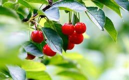 Ciliege rosse su un ramo appena prima il raccolto Immagine Stock