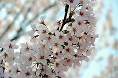 Ciliegi che fioriscono nel parco fotografie stock