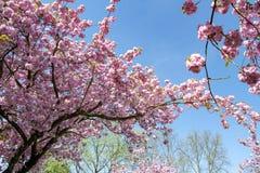 Ciliegi giapponesi che fioriscono in primavera immagine stock