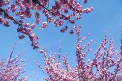 Ciliegi giapponesi che fioriscono in primavera Immagini Stock