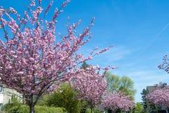 Ciliegi giapponesi che fioriscono in primavera Fotografia Stock