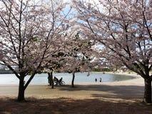 Ciliegi in Odaiba immagini stock libere da diritti