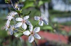 Ciliegia che fiorisce in un giardino Immagini Stock