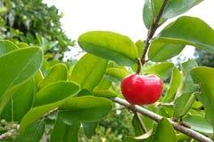 Ciliegia del Acerola - piccola frutta della ciliegia del Acerola sull'albero La ciliegia del Acerola è alta vitamina C e frutti a Fotografia Stock