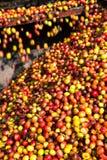 Ciliegia del caffè Immagini Stock