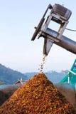 Ciliegia del caffè in lavorazione Fotografie Stock