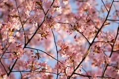 ciliegia del fiore immagine stock libera da diritti
