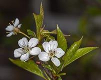 Ciliegia del fiore bianco Fotografie Stock Libere da Diritti