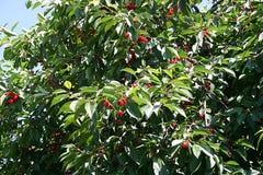 Ciliegia dell'albero Fotografia Stock Libera da Diritti