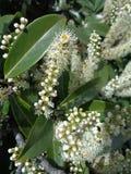 Ciliegia di alloro di fioritura dell'albero del ramo Fotografia Stock