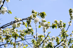 Ciliegia di fioritura Fotografia Stock Libera da Diritti