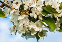 Ciliegia di fioritura Immagine Stock