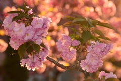 Ciliegia di fioritura fotografie stock libere da diritti
